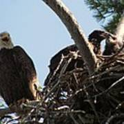Three Bald Eagles In The Nest Poster by Mitch Spillane