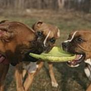 Three Boxer Dogs Play Tug-of-war Poster