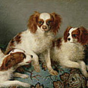 Three Cavalier King Charles Spaniels On A Rug Poster