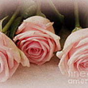 Three Pink Roses Poster