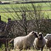 Three Sheep In A Field With Stone Poster