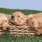 Three Sleeping Puppy Dogs In Basket Poster