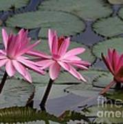 Three Sweet Pink Water Lilies Poster