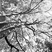 Three Trees Reach For The Sky Black And White Poster