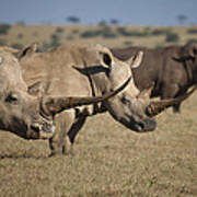 Three White Rhinos Line Up In Solio Poster