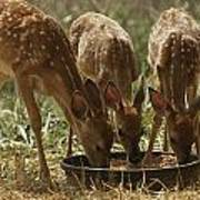 Three White-tailed Deer Fawns Poster