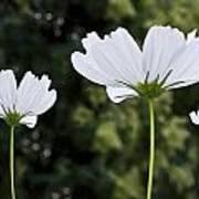 Three Wildflowers Poster