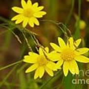 Three Yellow Amigos  Poster