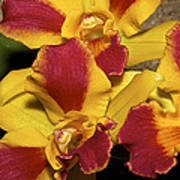 Three Yellow And Red Orchids Poster