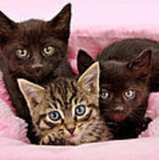 Threee Kittens In A Pink And White Basket Poster