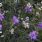 Thysanotus Patersonii And Leptospermum Poster