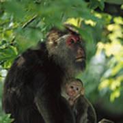 Tibetan Macaque Nursing Baby Poster