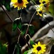 Tickseed Sunflowers Poster