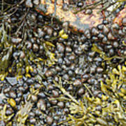 Tidal Pool With Rockweed Poster