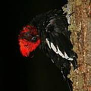 Tidying Up - Magellanic Woodpecker Preening Poster