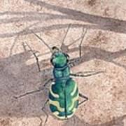 Tiger Beetle Poster