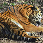 Tiger Behavior Poster
