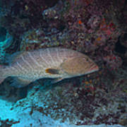 Tiger Grouper Swimming Along The Bottom Poster