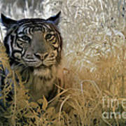 Tiger In Infrared Poster