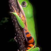 Tiger Leg Monkey Frog Poster