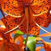 Tiger Lily Close Up Poster