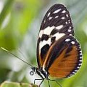 Tiger Longwing Butterfly Heliconius Poster