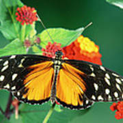 Tiger Longwing Heliconius Hecale Poster