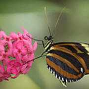 Tiger Longwing On Flower Poster