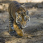 Tiger Panthera Tigris Cub, Native Poster