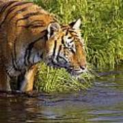 Tiger Standing In Water Poster