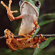 Tiger Striped Leaf Frog Waving Poster