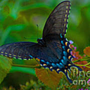 Tiger Swallowtail Butterfly Female Poster
