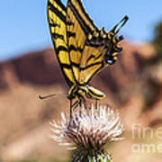 Tiger Swallowtail Butterfly In The Desert Poster