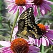 Tiger Swallowtail Poster