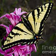 Tiger Swallowtail On Pink Hyacinth Poster