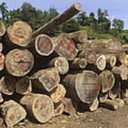 Timber At A Logging Area, Danum Valley Poster