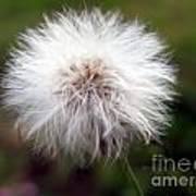 Tiny Dandelion Closeup Poster
