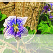 Tiny Violet   Blank Greeting Card Poster