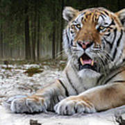 TJ  Poster by Big Cat Rescue