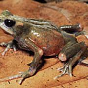 Toad Atelopus Senex On A Leaf Poster