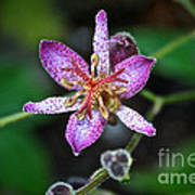 Toad Lily Poster