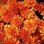 Toasted Orange Chrysanthemums Poster