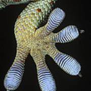 Tokay Gecko Gecko Gecko Underside Poster