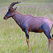 Topi Antelope Poster