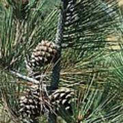 Torrey Pine Cones Poster