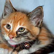 Tortoiseshell Kitten Poster