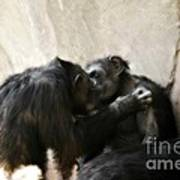 Touching Moment Gorillas Kissing Poster