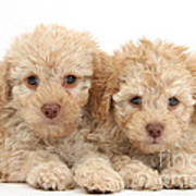 Toy Labradoodle Puppies Poster
