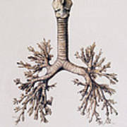 Trachea And Lung Bronchi Poster