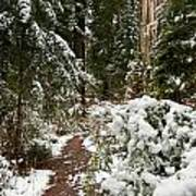 Trail Through Snow-decked Redwood Grove Poster